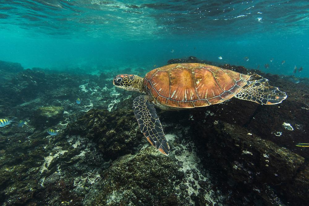 Galapagos Green Turtle (Chelonia mydas agassisi)<br /> Sullivan Bay<br /> Santiago<br /> Galapagos<br /> Ecuador, South America