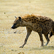 A spotted hyena (Crocuta crocuta) skulks across the plains of Ngorngoro National Park, Tanzania.