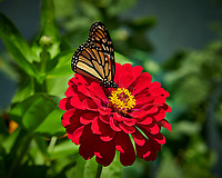 Monarch Butterfly on a Zinnia Flower. Image taken with a Nikon D850 camera and 105 mm f/1.4 lens (ISO 64, 105 mm, f/8, 1/250 sec).