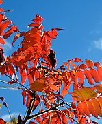 Backlit sumac leaves (Rhus sp.) glow against a deep blue sky.
