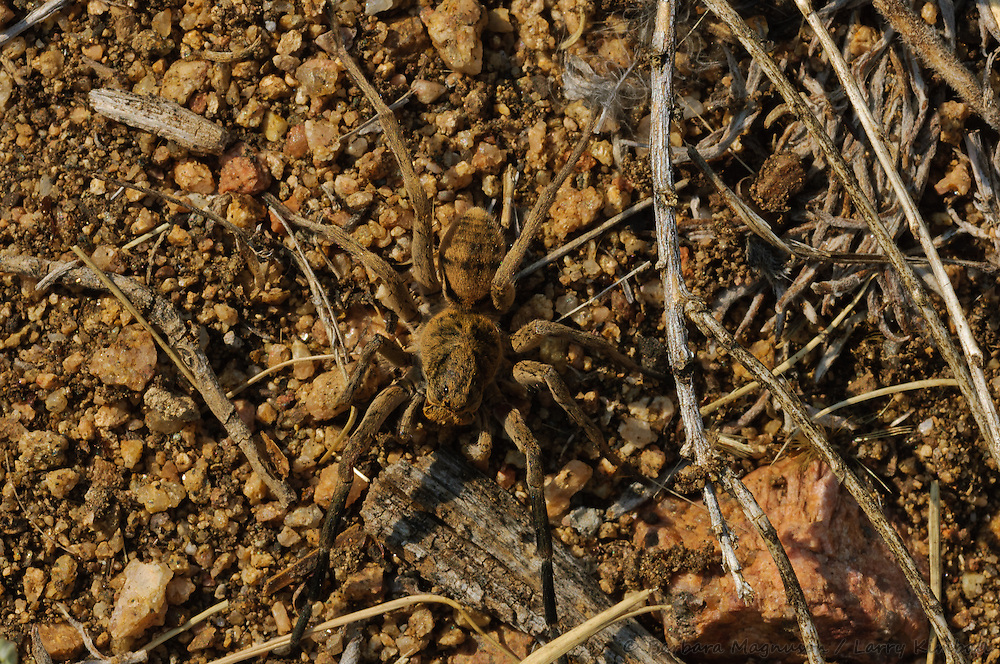 Burrowing Wolf Spider [Geolycosa wrightii] male; Fremont County, Colorado