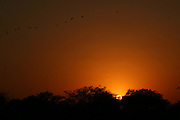 Migrating birds fly against a backdrop of a fiery sunset, Bharatpur, Rajasthan, India..Photo by Suzanne Lee