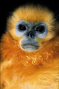 Golden Snub-nosed monkey - (young individual)<br />