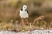 Stilts indeed!  A Pied Stilt showing off its long long legs, at Waiheke Island, New Zealand