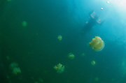 Jellyfish Lake, Rock Islands, Palau, Micronesia<br />