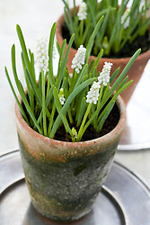 Muscari botryoides f. album in a terracotta pot - Grape hyacinth
