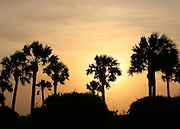 Jekyll Island palm trees silhouetted in an orange sunset, sunrise.