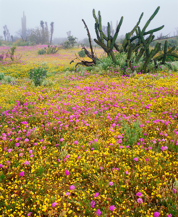 6104-1011 ~ Copyright:  George H. H. Huey ~ Field of verbena and poppies with pitaya agria cactus [sour pitaya], tree yucca, and cardon cactus in distance.  Morning fog.  Vizcaino Biosphere Reserve.  Sonoran Desert,  Baja California, Mexico.