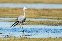 Blue Crane walking through shallow water Overberg, Western Cape, South Africa