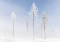 WA14471-00...WASHINGTON - Frosted trees with fog near Loop Loop Summit in the North Cascades.