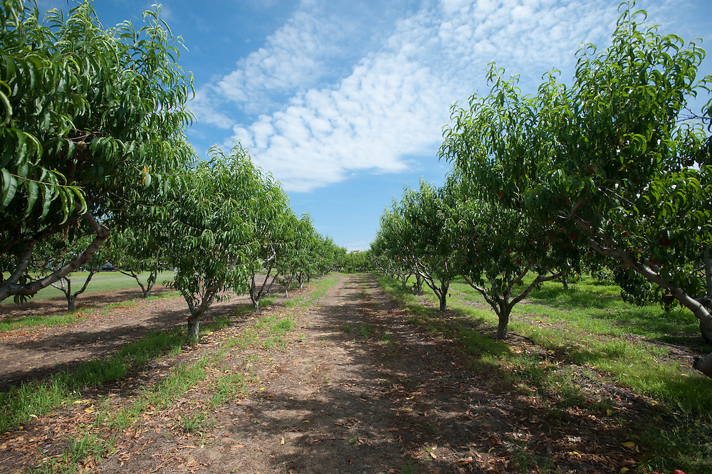 Row of trees on a peach orchard