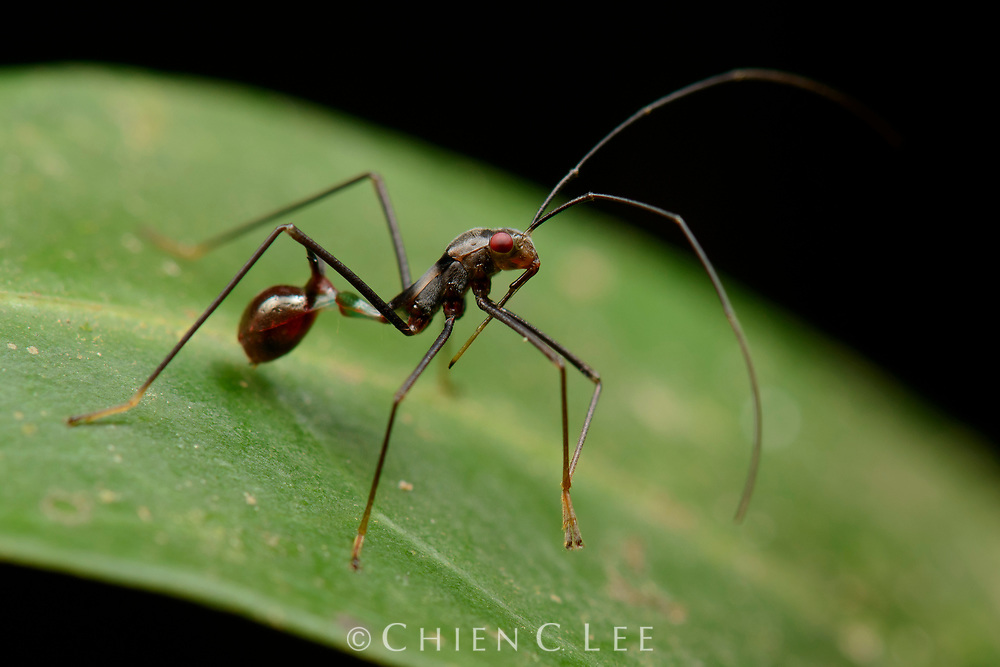 A juvenile Broad-headed Bug (family Alydidae) showing mimicry of a small ant. Sabah, Malaysia.