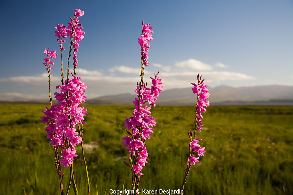 Wildflowers in bloom in the landscape, South Africa.