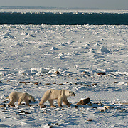 Polar bear mother and cub walking along Hudson Bay. Churchill, Manitoba, Canada