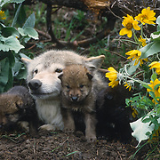 Gray wolf adult and young pups at the den during springtime in Montana. Captive Animal