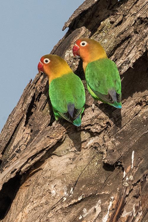 Fischer's Lovebirds, Ndutu Ranger Station, Tanzania