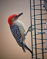 Red-bellied Woodpecker. Image taken with a Nikon D5 Camera and 600 mm f/4 VR lens (ISO 140, 600 mm, f/4, 1/640)