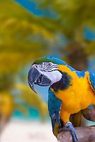 Blue-Yellow macaw, guacamayo
