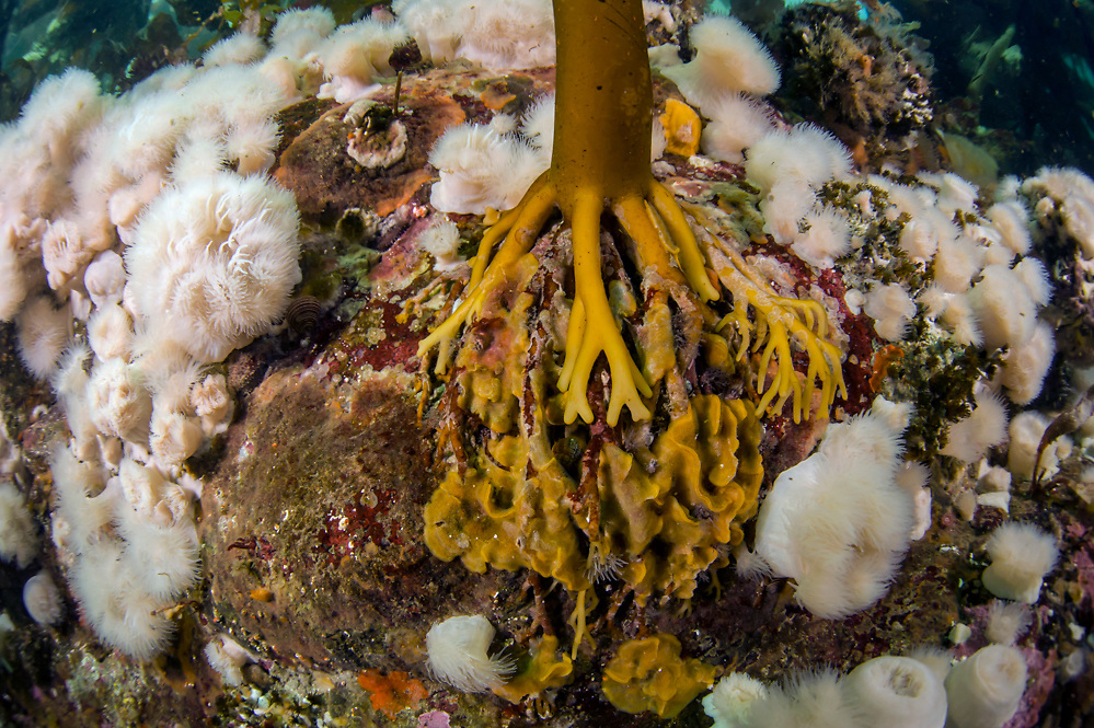 Short Plumose Anemones, Metridium senile, surround the holdfast, or roots, of the Bull Kelp, Nereocystis luetkeana, along Browning Passage offshore Vancouver Island, British Columbia, Canada