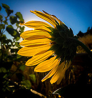 Waving good bye to summer.  Sunflower at Red Rocks Park and Ampitheater, Morrison, CO.