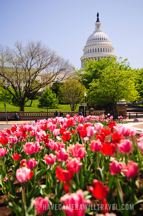 US Capitol Building with spring tulips and clear blue sky. Shallow depth of field with focus on the Capitol Dome in the background.