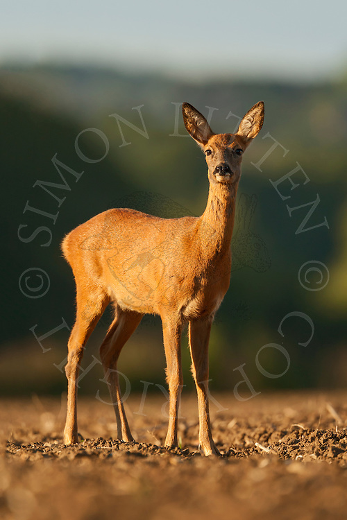 Western Roe Deer (Capreolus capreolus) adult female on a ploughed field, Norfolk, UK.