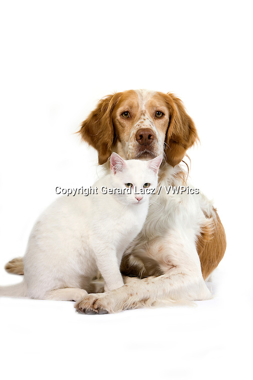 French Spaniel Male (Cinnamon Color) with White Domestic Cat standing against White Background