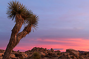 Red sunset and Yucca Plant at Joshua Tree National Park in southern California, USA.