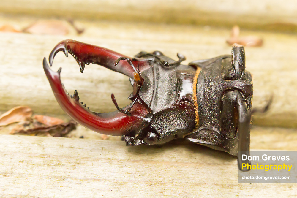 Decapitated stag beetle (Lucanus cervus). Surrey, UK.