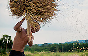 Separating rice kernels from the plant by hand in Nakhon Nayok, Thailand