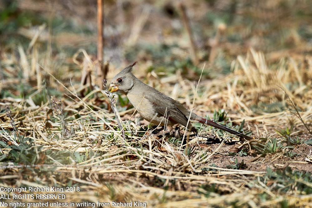 Birding photography from Whitewater Draw Wildlife Area Arizona, USA
