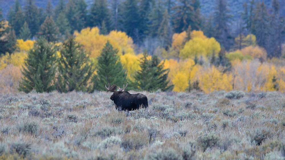 A bull moose with antlers in sagebrush, Grand Teton