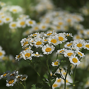 """""""Feverfew Flowers""""<br /> <br /> Beautiful Feverfew! Tiny white and yellow flowers!"""