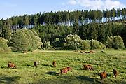 Weide mit Rindern, rotes Höhenvieh, Harz, Sachsen-Anhalt, Deutschland | red highland cattle, Harz, Saxony-Anhalt, Germany