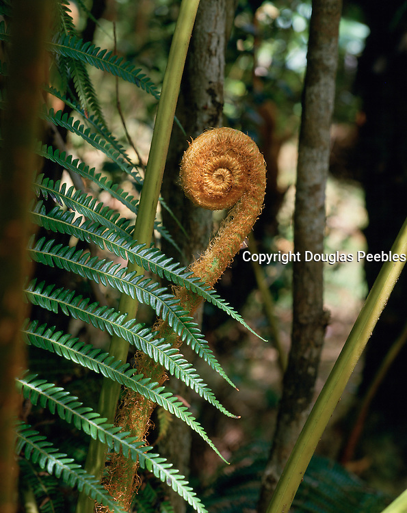Ama'u Fern, Hawaii Volcano National Park, Island of Hawaii, Hawaii, USA<br />