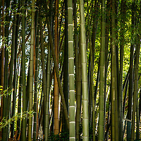 Bamboo near the Yamazaki Distillery in Yamazaki, Osaka Prefecture, Japan, November 6, 2015. Gary He/DRAMBOX MEDIA LIBRARY