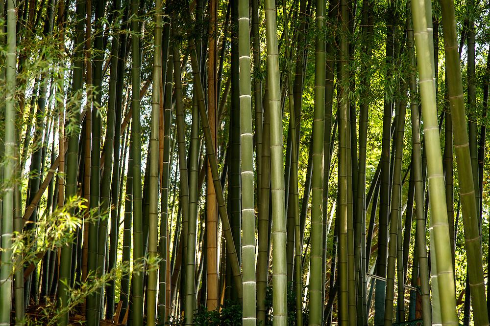 Bamboo near the Yamazaki Distillery in Yamazaki, Osaka Prefecture, Japan, November 6, 2015. Gary He/DRAMBOX MEDIA LIBRARY