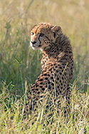 Young cheetah sitting in grassland, looking over her shoulder, Phinda Game Reserve, South Africa, © 2019 David A. Ponton