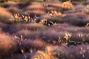 Lakeside grass at dawn at Mono Lake, California, Highway 395, East Sierra.