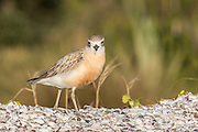 Endemic New Zealand Dotterel, Waiheke Island