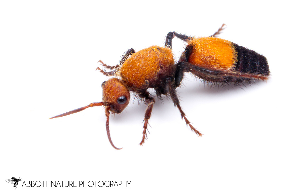 Velvet Ant (Dasymutilla bioculata) - female<br /> TEXAS: Lamar Co.<br /> Camp Maxey National Guard<br /> Powderly  4.VIII.2014<br /> N33.78015 W95.53824 351 ft<br /> J.C. Abbott #2676 &amp; K.K. Abbott