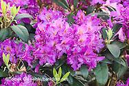 Rhododendron `Libretto`