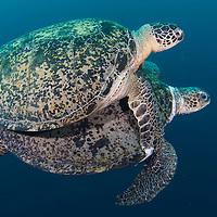 A mating pair of Green Turtles, Chelonia mydas, in Open ocean, Sipadan Island, Sabah, Malaysia