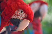 Scarlet Macaw (Ara macao) is a large, colorful macaw. It is native to humid evergreen forests in the American tropics. Image by Andres Morya