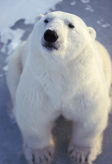 Polar Bear, (Ursus maritimus) Portrait. Churchill, Manitoba. Canada.
