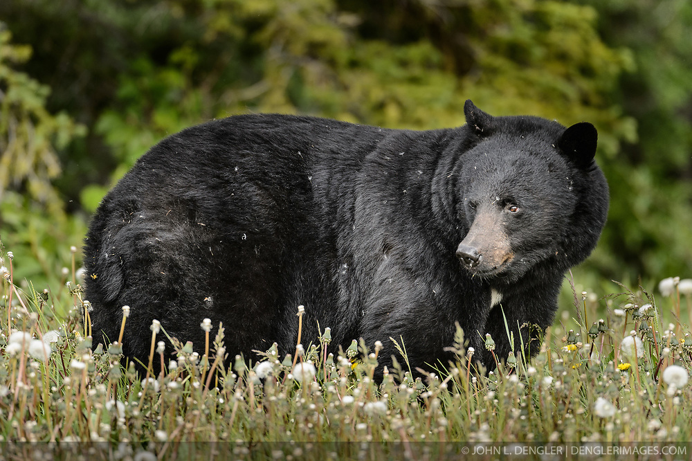 An American black bear (Ursus americanus), eats dandelions just outside the boundary of Kluane National Park and Preserve along Yukon Highway 3, near Gribbles Gulch in the Yukon Territory, Canada. While most of a black bear's diet is vegetation, black bears are omnivores meaning that they eat both plants and animals (grasses, berries, roots, insects, fish and mammals). Black bears typically weight 200 to 600 pounds. Not all black bears are black in color -- some are brown or even blond. They are most easily distinguished apart from grizzly bears by the lack of the pronounced shoulder hump found in a grizzly bear. The black bear is not considered to be a threatened species, though care to keep them from getting human food and garbage is needed to protect them from conflicts with humans. Kluane National Park and Reserve is known for it's  massive mountains, spectacular glacier and icefield landscapes including Canada's tallest peak, Mount Logan (19,545 ft.). The 5.4 million acre park is also known for it's wildlife, including grizzly bears, wolves, caribou and Dall sheep. The park is one of a collection of U.S. and Canadian national and provincial parks that form the largest international protected area in the world. Kluane National Park and Reserve was selected as a UNESCO World Heritage Site for being an outstanding wilderness of global significance.