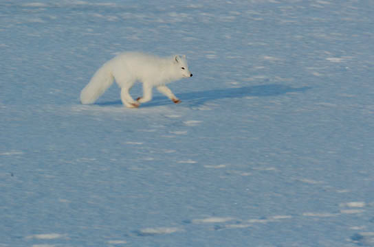 Arctic Fox (Alopex lagopus) Along the ice edge of Hudson Bay, Cape Churchill, Manitoba, November. Canada. Winter.