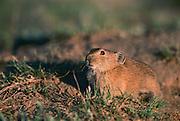 Pika (Ochotona sp), Mongolia