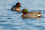 Green-winged Teal, Anas carolinensis, male, Shiawassee River, Saginaw County, Michigan