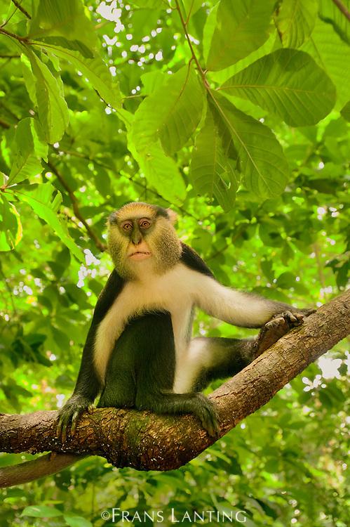 Mona monkey male, Cercopithecus mona, Boabeng-Fiema Monkey Sanctuary, Ghana